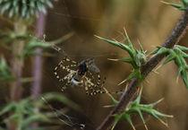 European Garden Spider  von Prodromos Antzoulis