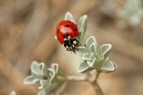 Lady bug (Cyprus) von Prodromos Antzoulis