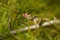 Hardim Lizard (Cyprus) by Prodromos Antzoulis