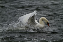 Swan by Prodromos Antzoulis