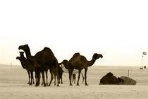 Al Dhafra camel market  by sylviphotography