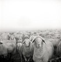 Schafe im Nebel von Jürgen Müngersdorf