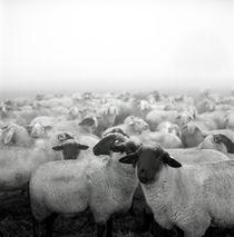 Schwarzkopf Schaf von Jürgen Müngersdorf