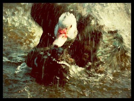 Splashingduck