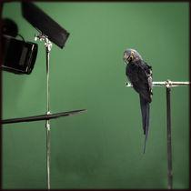 A parrot in a studio von Martin Lipmann