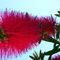 Cyprus-flower