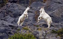 Fighting Goats von andrew  Bowkett