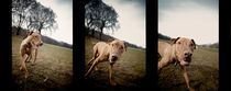 Dog Triptych by Michael Del Rossi