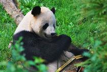 Panda Bear by Melissa Little