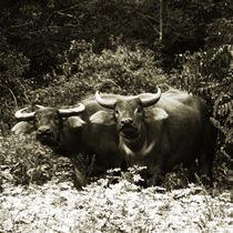 Cuba - Two Buffaloes von Cam Powell