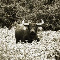 Cuba - Buffalo von Cam Powell