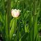 Mini-pink-tulip-cropped