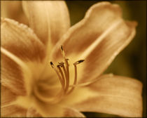 Sepia Flower by Crystal Kepple