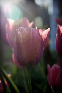 Tulips in the Sun by Crystal Kepple