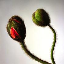 Poppies #4 von JEAN-MARC GIBOUX