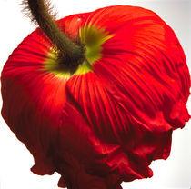 Poppies #3 von JEAN-MARC GIBOUX