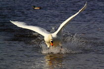 Swan-attack2