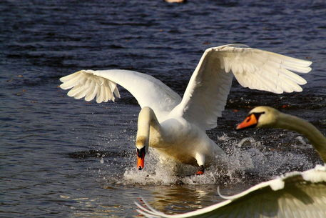 Swan-attack