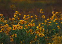 Yellow Flowers at Sunset von Crystal Kepple