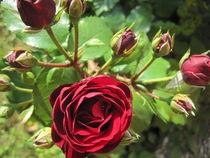 Red Roses von Anne Rösner-Langener