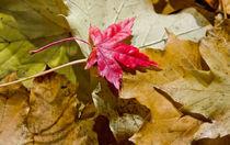 Autumn Leaf von Buster Brown Photography