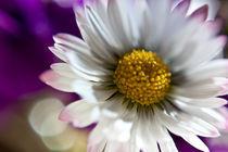 daisy close-up von Federico Paoli