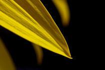 yellow flower von Federico Paoli