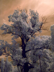 infrared old tree by Mihail Leonard Bodor