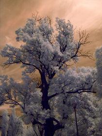 Old-tree-ir
