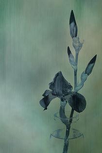 iris by augenwerk