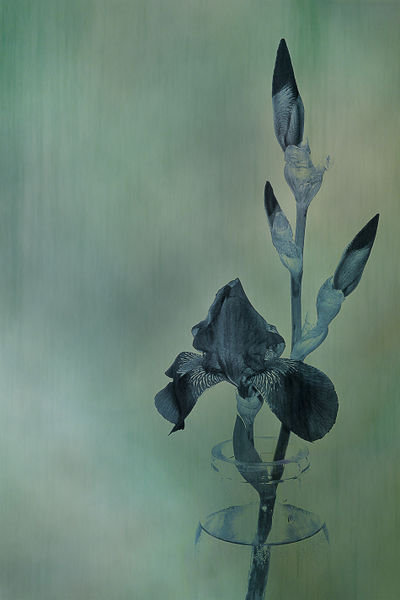 Iris-aqua