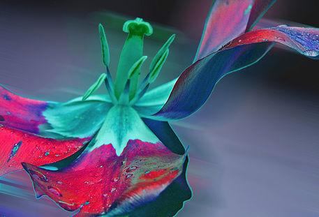 Tulpe-wind-druck