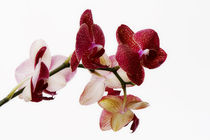 Phalaenopsis by pichris