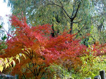 Roter Ahorn, Herbst von Simone Cuambe