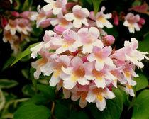 Blüten von Simone Cuambe
