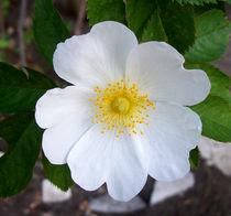 Blüten, schneeweiss von Simone Cuambe