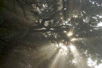 Morning fog in tree branches von Stas Kalianov