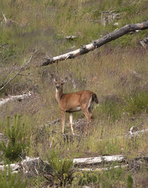 Coastal Deer by DS Photography