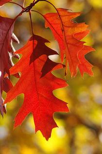 Quercus rubra ii von daniela scharnowski