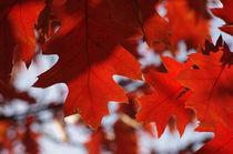 Imgp1275-red-oak
