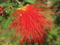 Exotische rote Fächerblüte von Anne Rösner-Langener