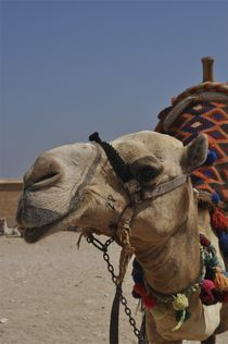 Oscar the Camel by Juan Carlos  Medina Gedler