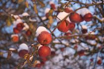 Red apples in snow by Stas Kalianov