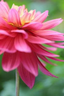 Pink Dahlia 'Jupite'r Variety by Neil Overy