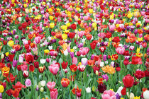 Field of Mixed Tulips by Neil Overy