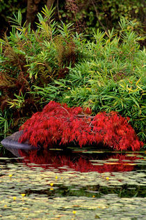 Little Red Maple 342 by Patrick O'Leary