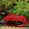 342-little-red-maple-971176-001-v-18