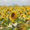 Sonnenblumenfeld1