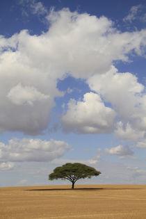 Acacia raddiana in the Northern Negev by Hanan Isachar