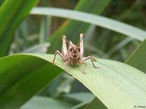 Grasshopper Front by Joel-Lilian Conway
